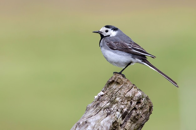 Wagtail on the big old branch in a light green background.