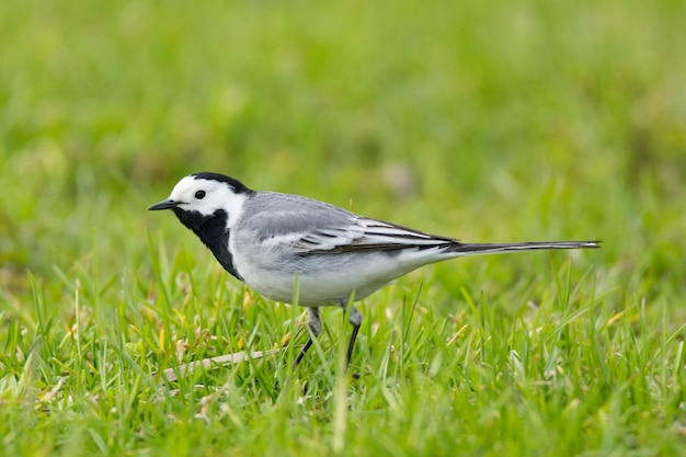 Трясогузка-птица на траве