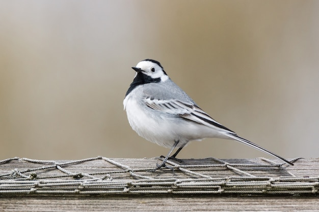 Wagtail on the grass