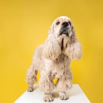 Aspettami, umano. cucciolo di spaniel americano. il cagnolino o l'animale domestico lanuginoso curato sveglio è seduto isolato su priorità bassa gialla. servizio fotografico in studio. spazio negativo per inserire il testo o l'immagine.
