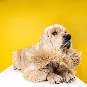 애무를 기다리고 있습니다. 아메리칸 스패니얼 강아지. 귀여운 손질 솜털 강아지 또는 애완 동물은 노란색 배경에 고립 거짓말입니다. 스튜디오 사진. 텍스트 또는 이미지를 삽입 할 여백입니다.