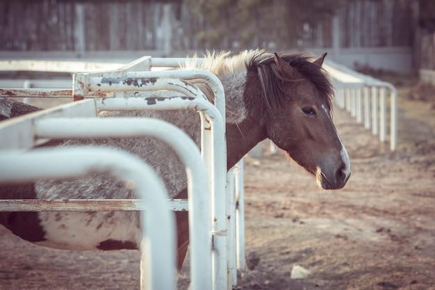 空腹の馬の食べ物を待っています。