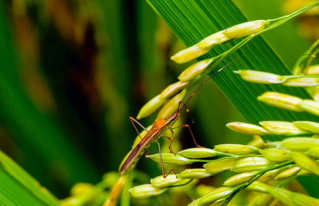 Walang sangit (leptocorisa oratorius)  is a major rice pest which feeds on the sap of stems and seeds.