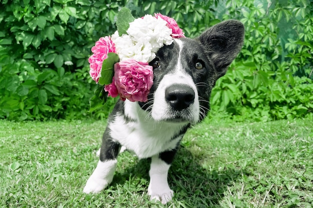 Wales corgi puppy portrait with pink roses on his head on grass background
