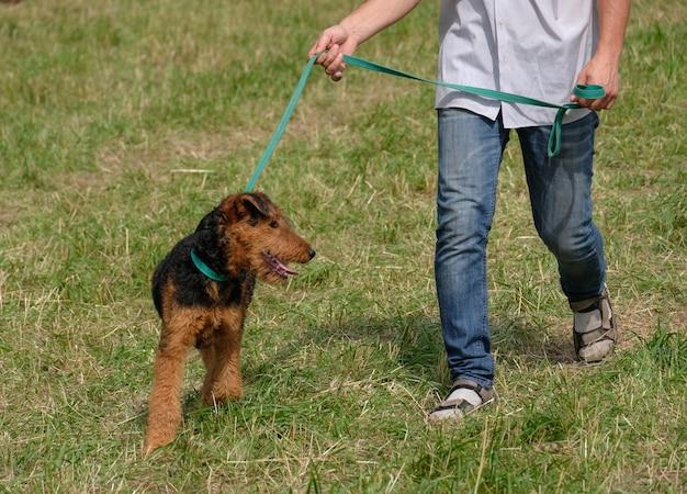 ウェールズテリアは夏に飼い主とひもにつないで歩く