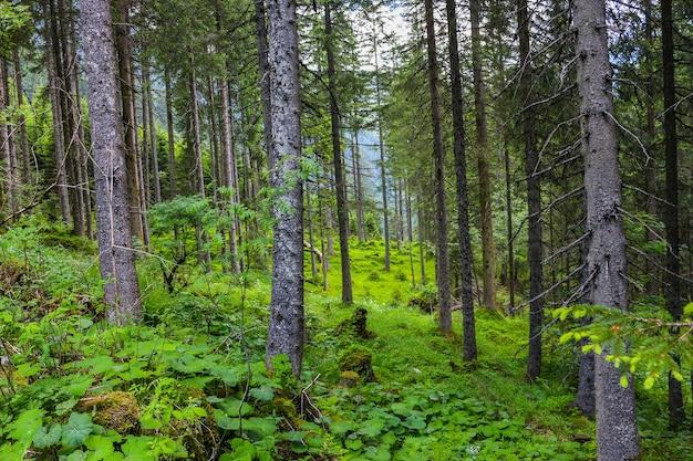 신비한 어둡고 오래된 숲을 걷습니다. 오스트리아의 가을 화창한 아침 날