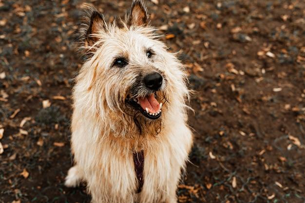 Прогулка с собаками. собака из приюта для животных. терьер длинношерстный пес для прогулок в парке. уход за питомцами, здоровье питомцев.