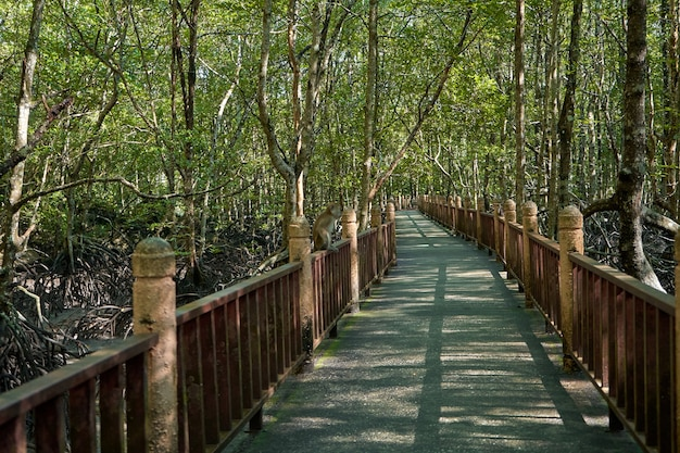 Walk through the mangrove forest in asia