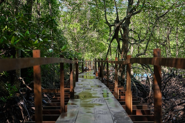 Walk through the mangrove forest in asia.