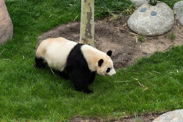 動物園でかわいいパンダを歩いた