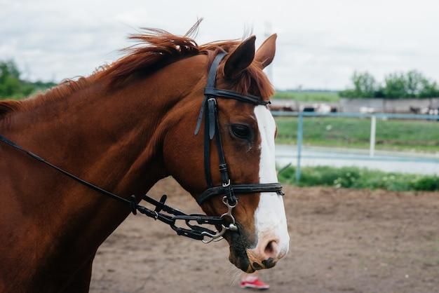 牧場で美しく健康な馬を歩く。畜産と馬の繁殖。