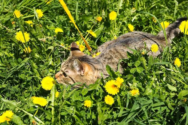 飼い猫を黄色いハーネスで歩く。ぶち猫は屋外を恐れ、タンポポと一緒に草の中に隠れ、耳を圧迫します。ペットに歩くことを教える