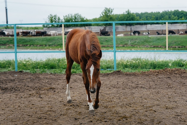 Walking a beautiful and healthy horse on the ranch. animal husbandry and horse breeding.