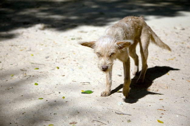 Walking blind stray domestic dog on sand with skinny