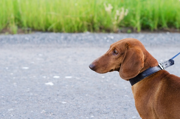 Walking the dog in nature. dog stands on the road and looks away