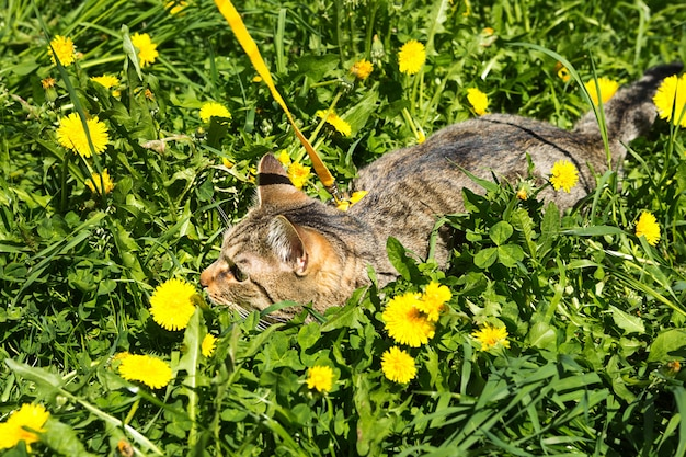Walking a domestic cat on a yellow harness. the tabby cat is afraid of outdoor,hides in the grass with dandelions, presses his ears. teaching your pet to walk