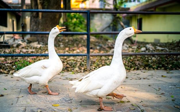 Прогулка с утками на открытом воздухе в парке в зоопарке катманду, непал