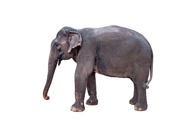 Идущий слон, изолированные на белом фоне. стоящий слон в полный рост крупным планом. женский азиатский серый слон.