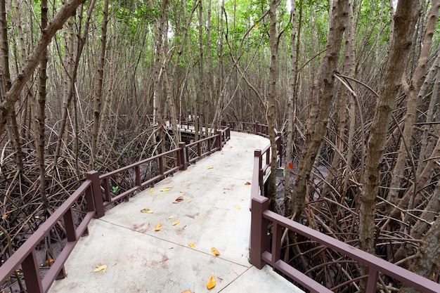 Walking path through in the mangrove forest.