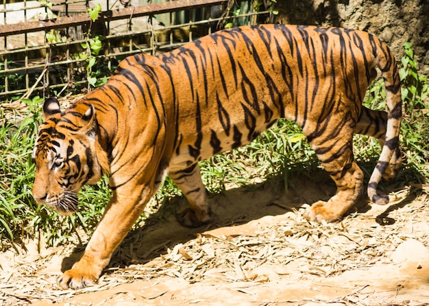 Walking  tiger in a zoo