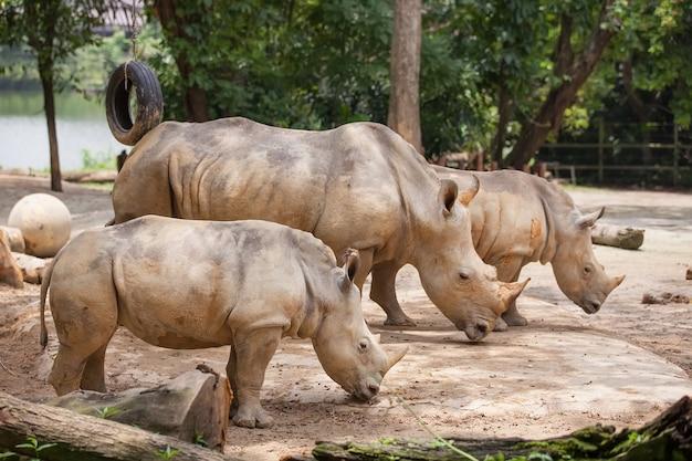 A walking white rhinoceros