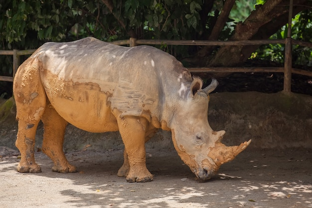 A walking white rhinoceros