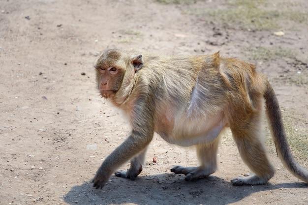 野生の猿を歩く。