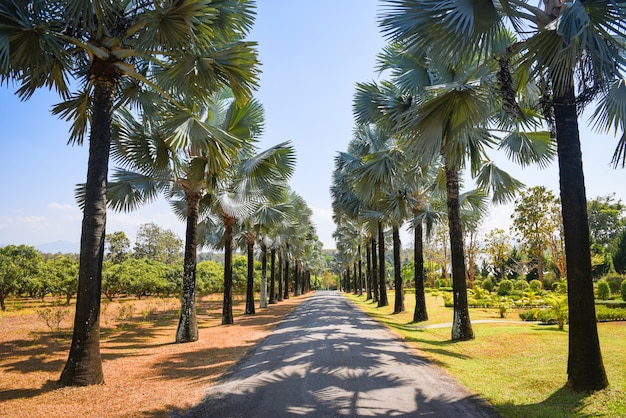 Walkway with palm tree in the tropical summer. road and palm decorate garden and green leaf