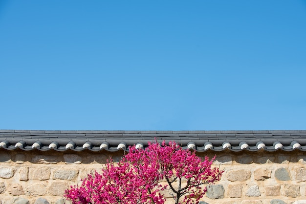 A wall of blue sky and red plum blossom