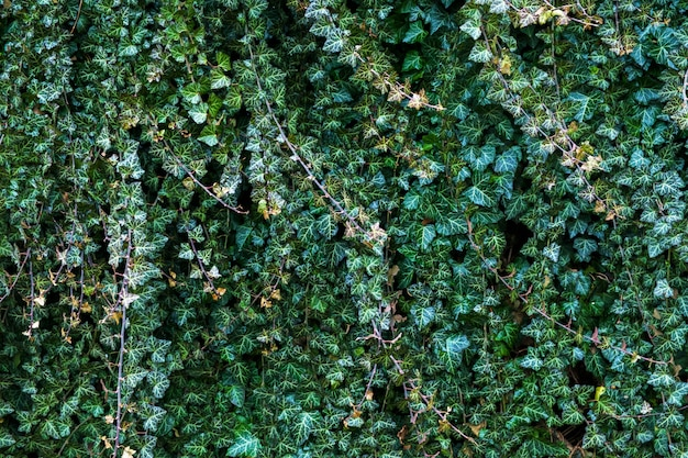 A wall of climber common ivy. green floral background