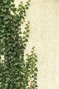A wall of common ivy. also known as european ivy