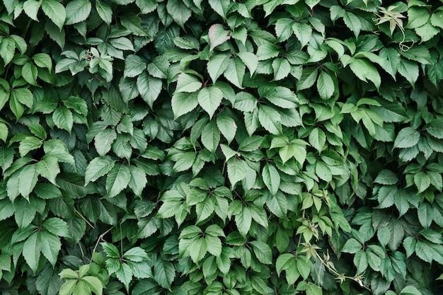 야생 포도 잎으로 덮인 벽 등반 식물의 자연 배경 수직 원예