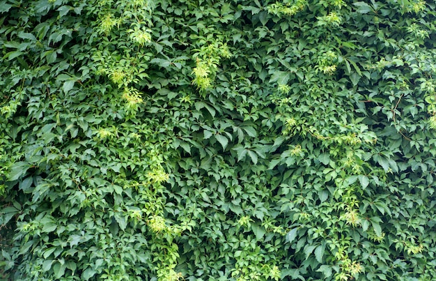 Wall of green plants. natural background of tropical plants, texture and pattern of the jungle