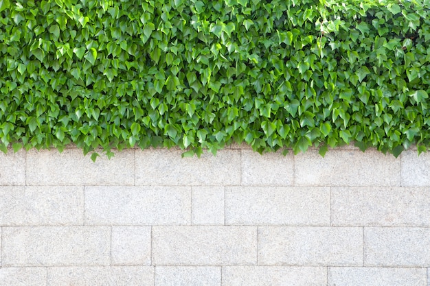 Wall of house covered with beautiful green leaves plants Premium Photo