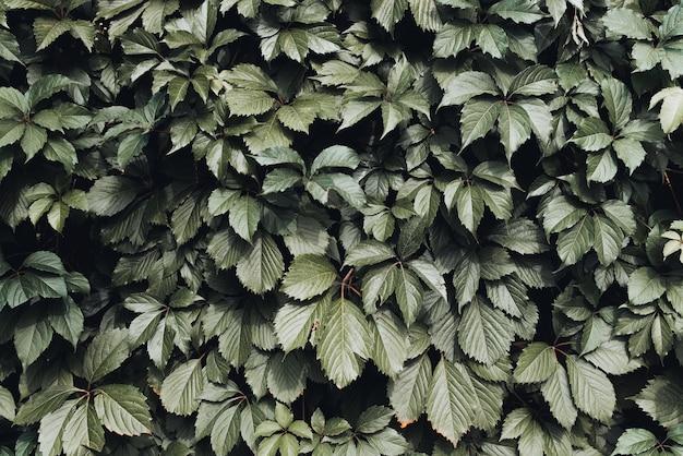 濃い緑の葉の壁、日中の屋外の生け垣。自然な背景、葉の背景