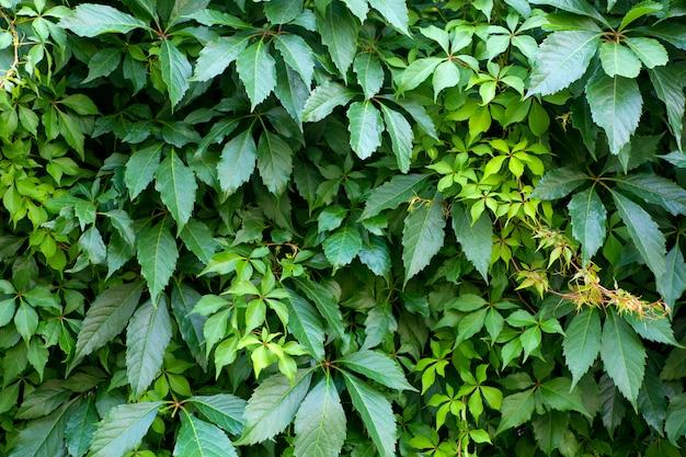 Стена из зеленых растений. естественный фон тропических растений, текстура и рисунок джунглей