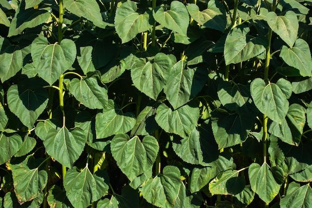 夏には大きな緑のヒマワリの葉の壁