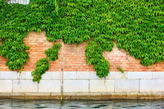 Стена старого дома у канала в венеции с вьющимся плющом, италия