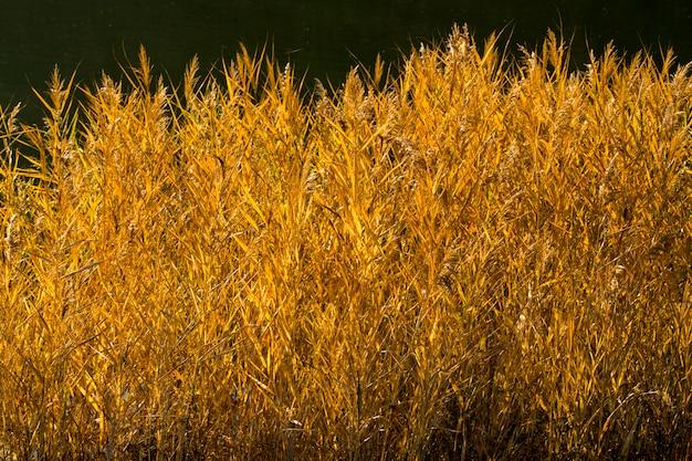 Wall reeds  sun