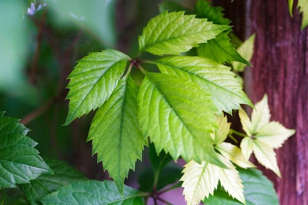 Wall of wild grape leaves leaf texture design element soft warm natural background vine leaves color...