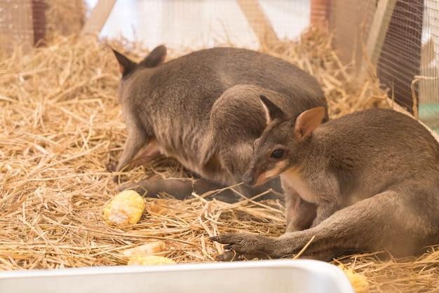 Wallaby or mini kangaroo