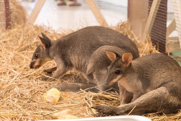 Wallaby или mini kangaroo