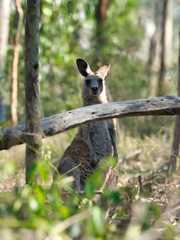 Wallaby standing on the ground surrounded by greenery under sunlight