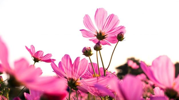 庭に咲くコスモスの花と柔らかいピンクの花びらのぼやけた壁紙表面。