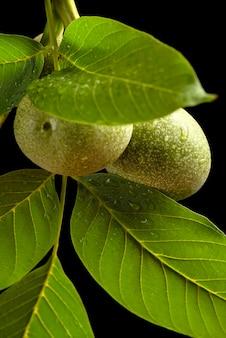 Орех ветвь грецкого ореха с незрелыми плодами и зелеными листьями с каплями дождя, изолированными на черном ...