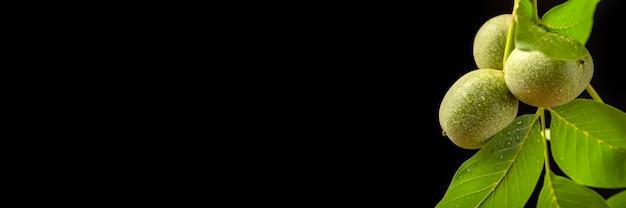 Ветка грецкого ореха грецкого ореха с незрелыми плодами, изолированные на черном фоне большой черный баннер копией пространства о ...