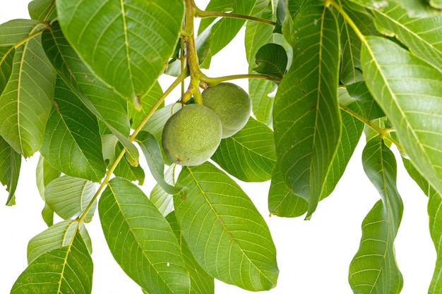 Walnuts fruits green tree branch isolated on a white