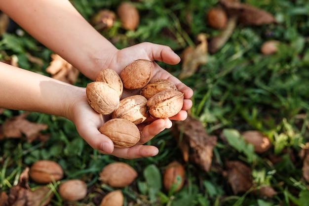 Урожай грецких орехов в руках на фоне орехов в зеленой траве