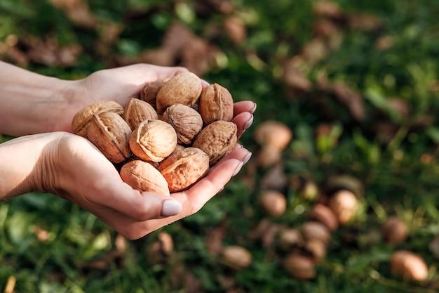 Урожай грецких орехов в женских руках на фоне орехов в зеленой траве