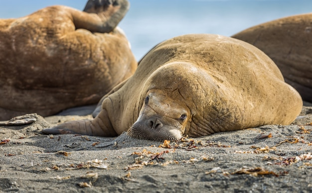 Морж отдыхает на пляже на шпицбергене